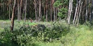 Embedded thumbnail for 08-06-2018-Wycinka drzew w miejscowości Ostrowik.